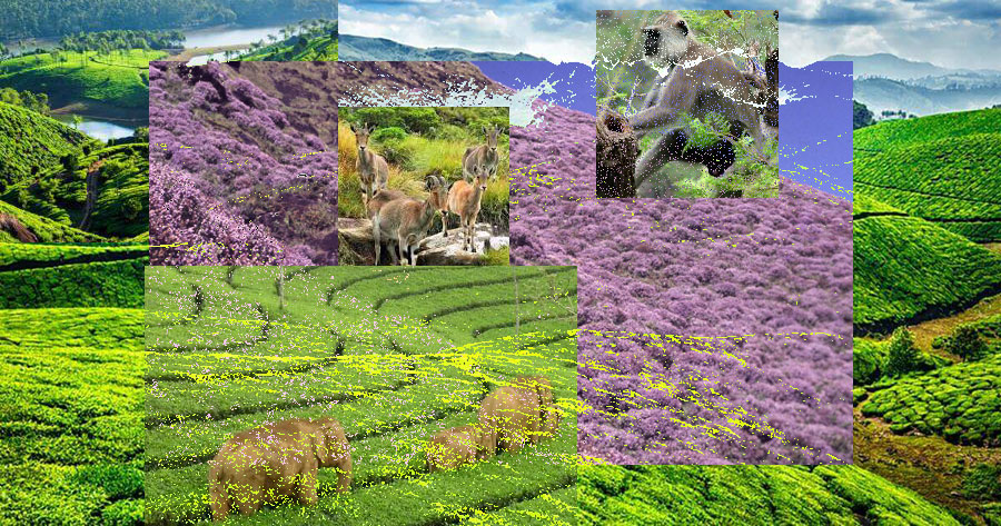 Do not miss the blue blooming Nilgiri hills as Neelakurinji plants flower after 12 years